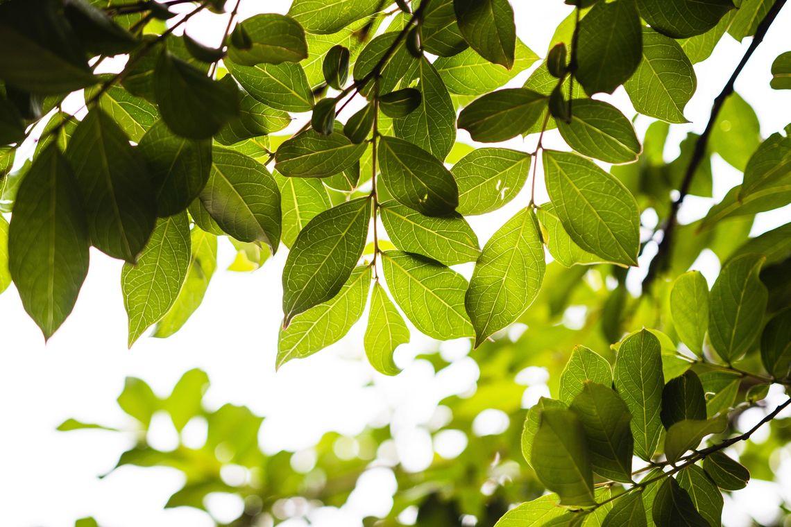 cal 2020 tree care update feb 26 2020