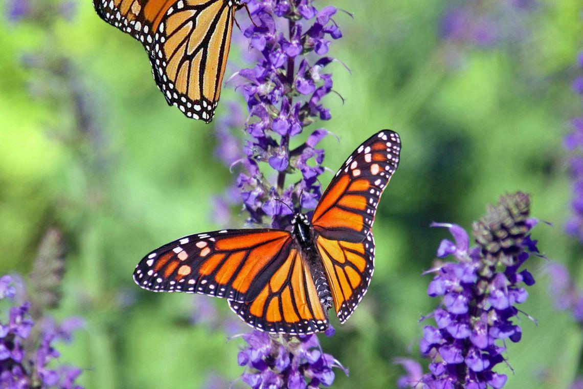 cal plants pollinators vegan mar 24 2020