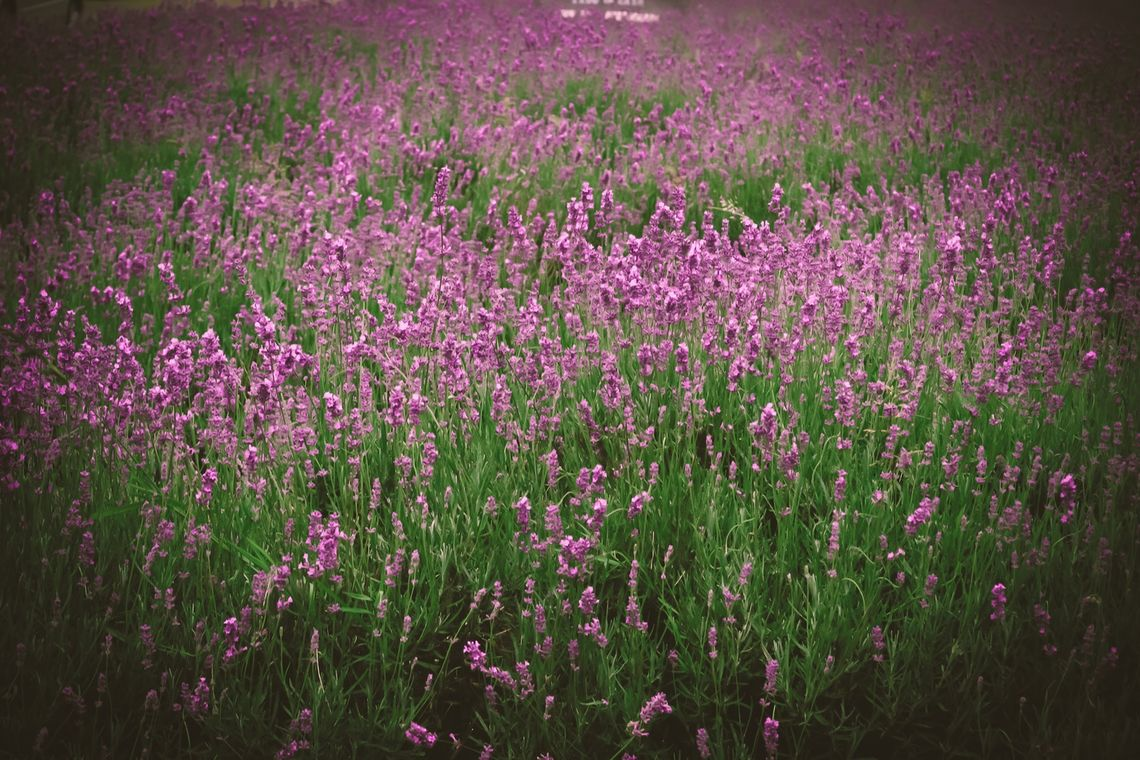 lavendar enews feb 20