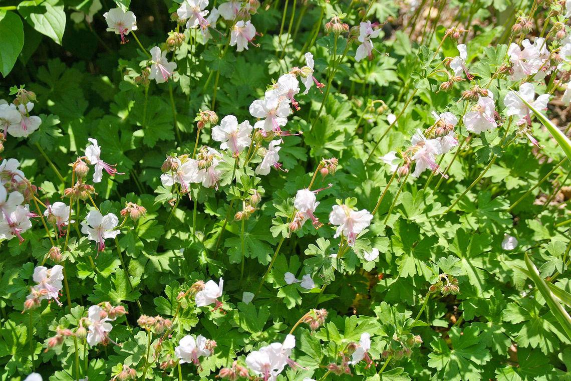 2020 GMP geranium x cantabrigiense biokovo 3zz