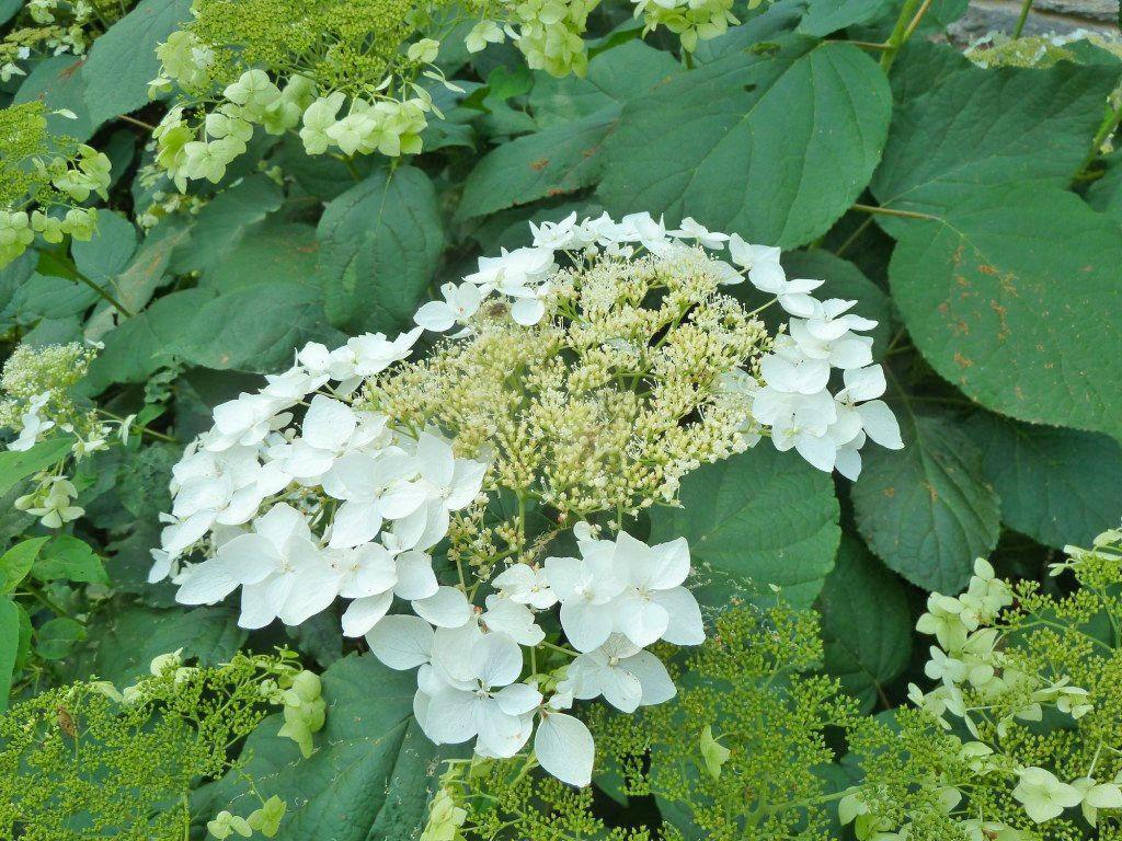 2020 GMP hydrangea haas halo flower pn 1024x1024