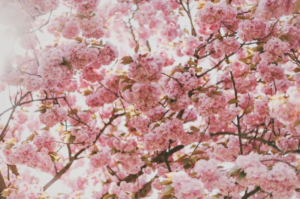 Enews_Cherry-tree_thumbnail