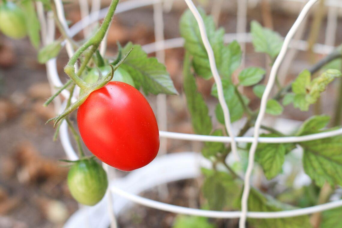 tomato 1695080 1920