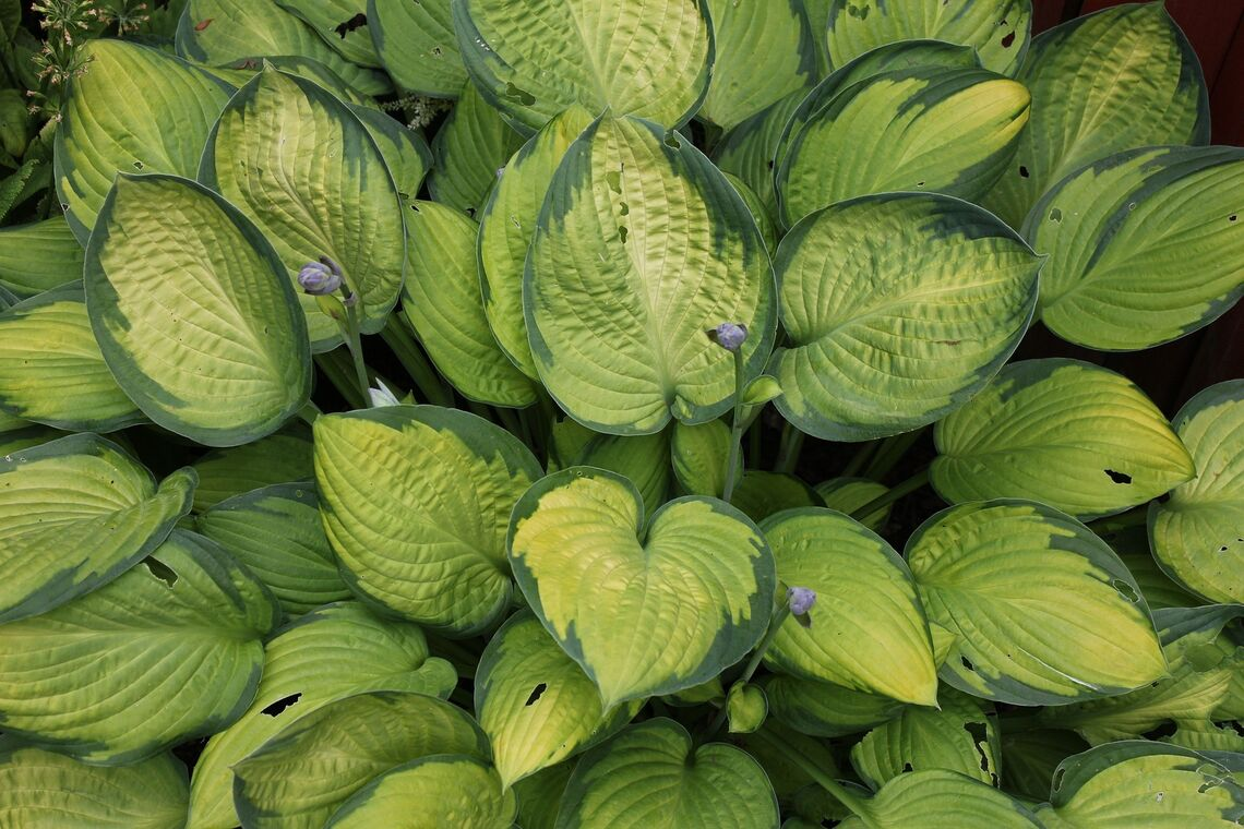 Hosta_Shade-Garden-Plant
