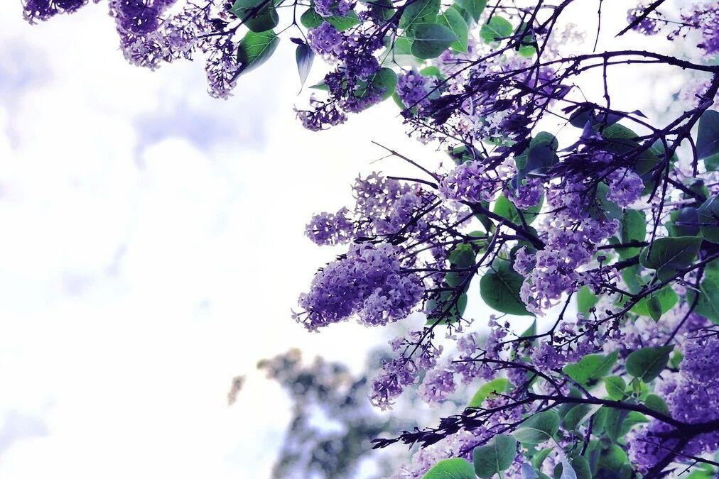 resized lilac