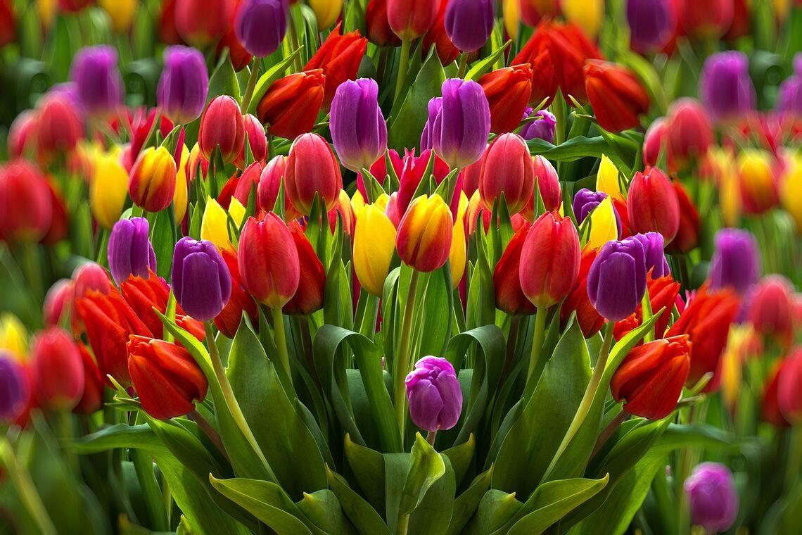 new tulips 5 6 20
