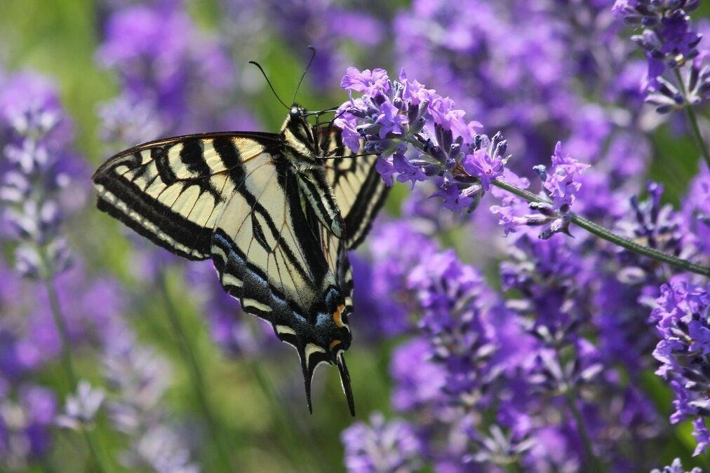 resized pollinator 5 12 20