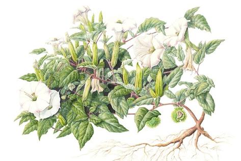botanical illustration thumbnail