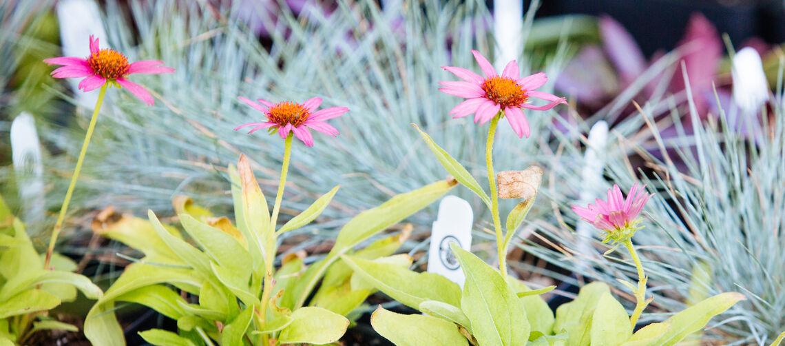 Plant Dividend_flowershot