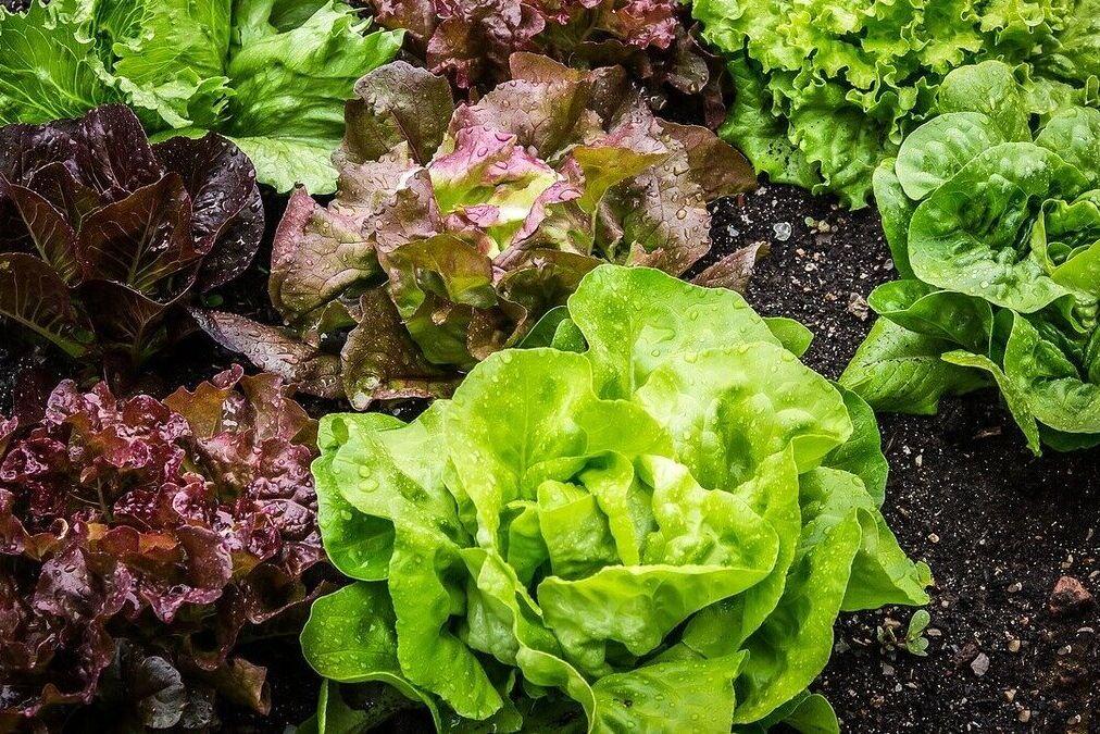 resized lettuce 7 16