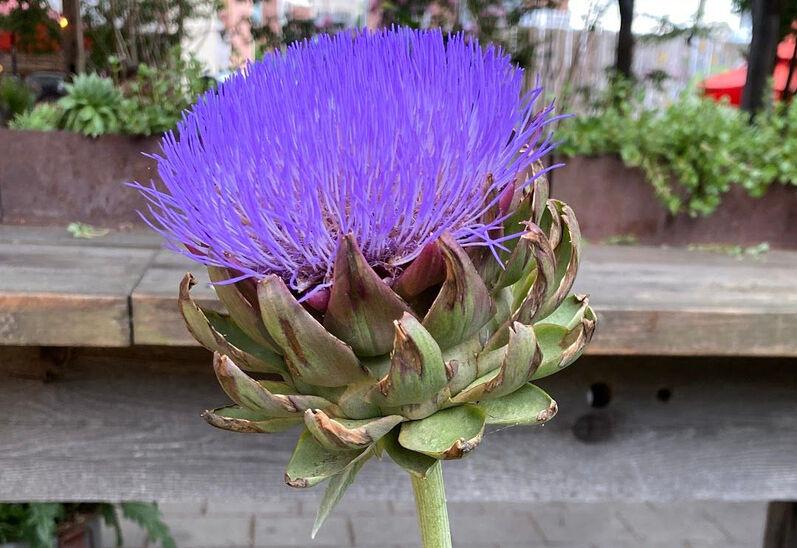resized purple