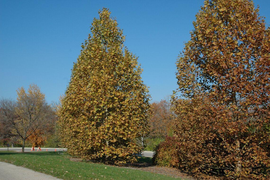 Platanus acerifolia exclamation_tree-02