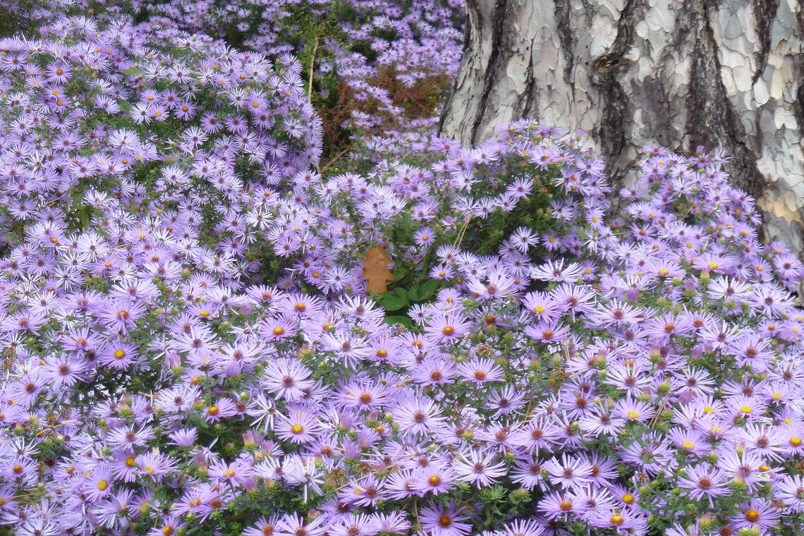 Symphiotrichum oblongifolium raydon_ Perennial-Flower
