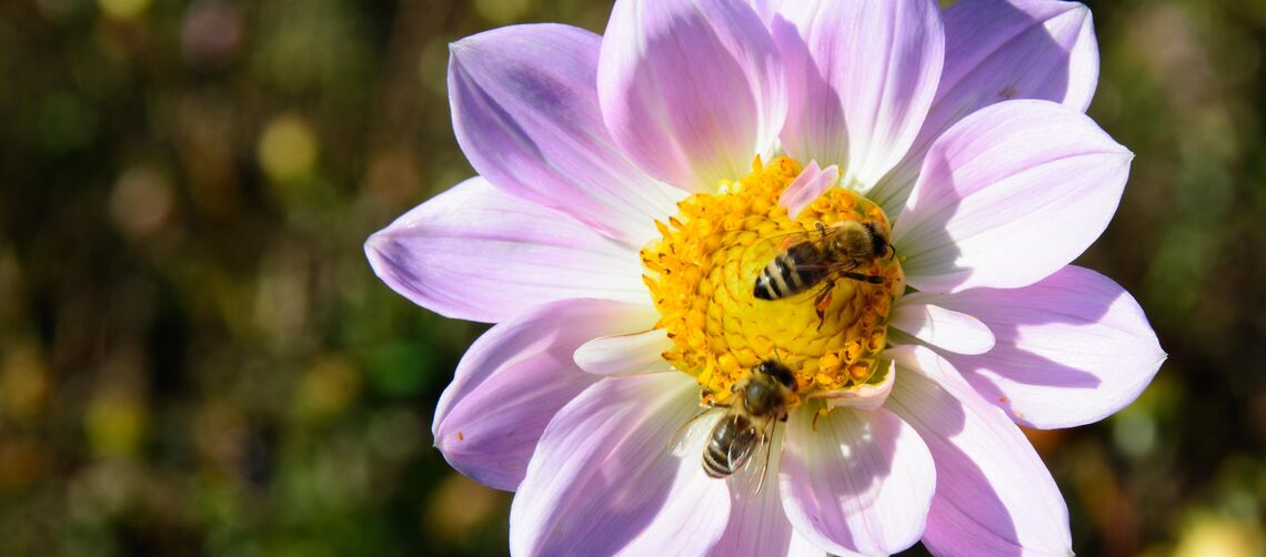 Dahlia with bees_flowers