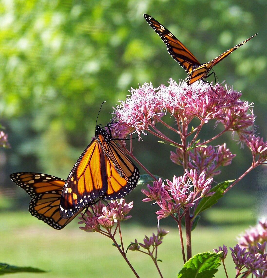 event update 3_butterflies live