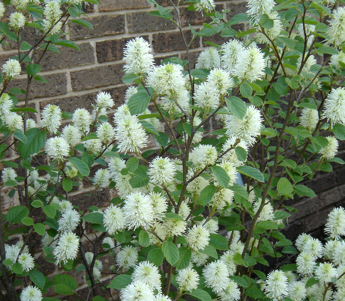 fothergilla mt airy bloom2 from christina