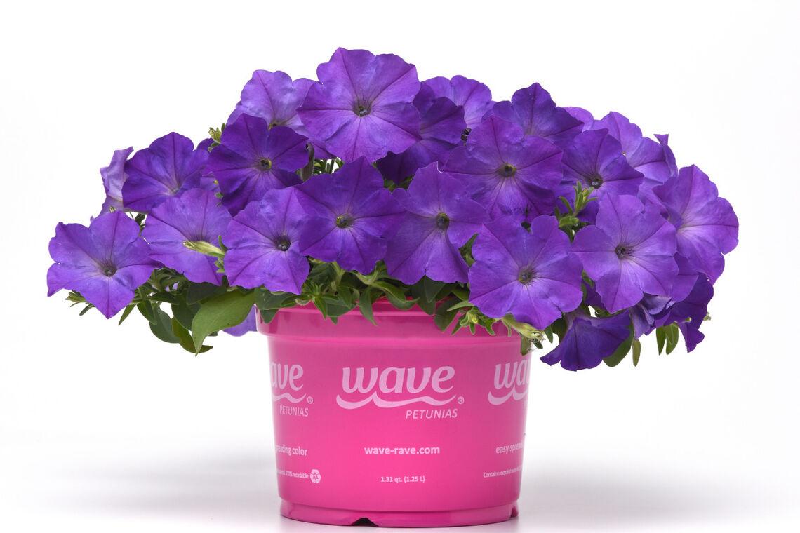 easy wave lavender sky blue petunia pet19 25695