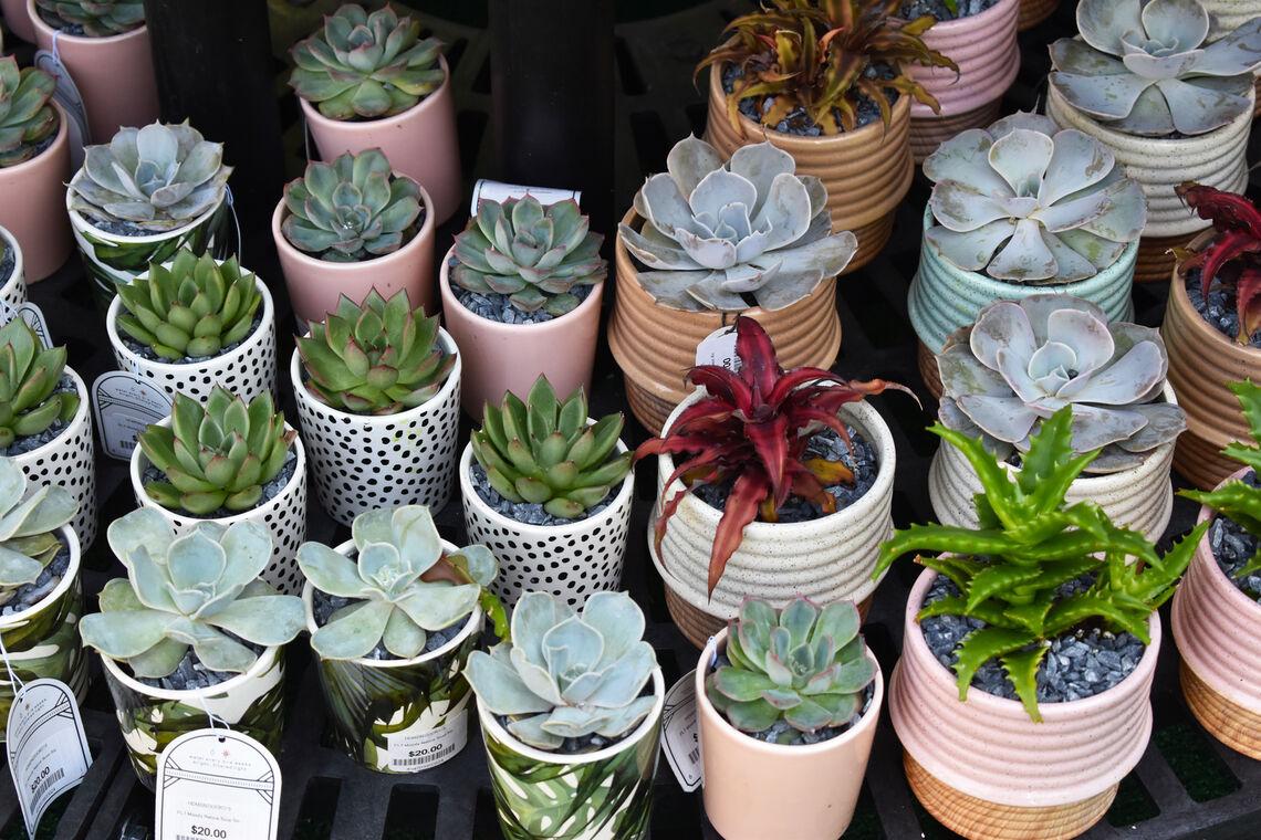 PHS Shop succulents