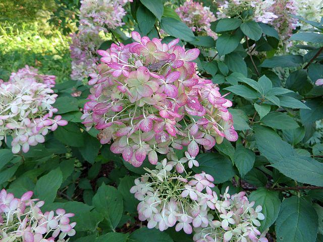 hydrangea paniculata limelight 02
